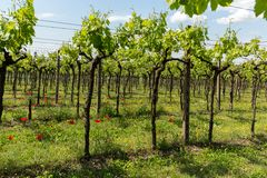 Vineyards in the Valpolicella region in Italy. Vineyards in the Valpolicella region in Italy royalty free stock photography