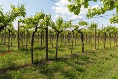 Vineyards in the Valpolicella region in Italy. Vineyards in the Valpolicella region in Italy royalty free stock photo