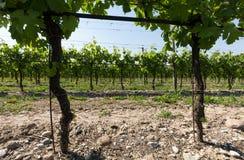 Vineyards in the Valpolicella region in Italy.  stock photography
