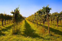 Vineyards Stock Images