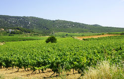Vineyards in Vilafranca del Penedes Royalty Free Stock Image