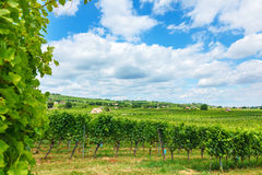 Vineyards in Villány, Hungary, summer of 2015 Stock Image