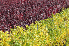 Vineyards with vines for red and white wine Stock Image