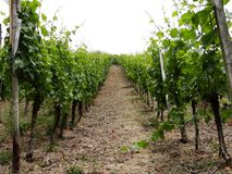 Vineyards. Vineyard at Ahrweiler in sommer Stock Photography