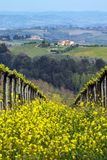 Vineyards. In the hills of Tuscany in spring and typical Tuscan landscape in the background, Italy stock photos