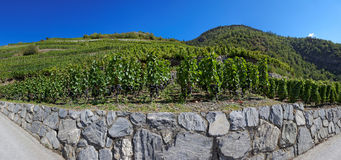 Vineyards in Visperterminen, Switzerland - highest vineyards in Europe Royalty Free Stock Photo