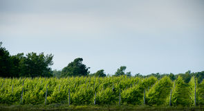 Vineyards Royalty Free Stock Image
