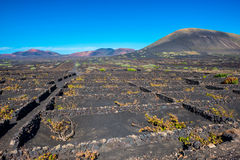 Vineyards in Volcanic Landscape on Lanzarote Royalty Free Stock Photo