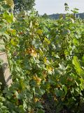 Vineyards in Vrancea, near Focsani, Romania,. At harvest time stock photography