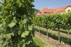 Vineyards of Wachau area, Austria Stock Images