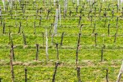 Vineyards in the Wachau region Stock Images