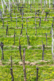 Vineyards in the Wachau region Royalty Free Stock Images
