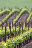 Vineyards wawes in spring. Colors of spring vineyard in the ghiaie valley calvignano oltrepo pavese pavia italy Stock Photo