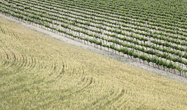 Vineyards and wheat field Royalty Free Stock Images