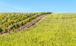 Vineyards and wheatfield Stock Photography