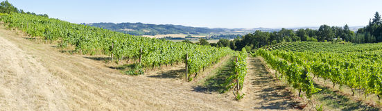 Vineyards in the Willamette Valley Oregon Royalty Free Stock Photos