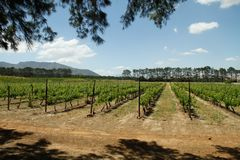 Vineyards on a wine farm Royalty Free Stock Photography