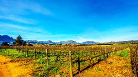 Vineyards in the wine region of Stellenbosch. In the Western Cape of South Africa.Hottentot-Holland Mountain Range in the background on a nice South African royalty free stock photography