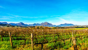 Vineyards in the wine region of Stellenbosch. In the Western Cape of South Africa.Hottentots-Holland Mountain Range in the background on a nice South African royalty free stock images