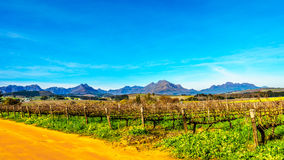 Vineyards in the wine region of Stellenbosch. In the Western Cape of South Africa.Hottentots-Holland Mountain Range in the background on a nice South African stock photo