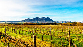 Vineyards in the wine region of Stellenbosch. In the Western Cape of South Africa. Simonsberg in the background on a nice South African winter day stock images