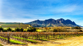 Vineyards in the wine region of Stellenbosch. In the Western Cape of South Africa. Simonsberg in the background on a nice South African winter day stock image