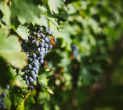 Vineyards Winery farms Royalty Free Stock Photography