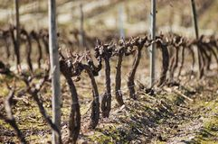 Vineyards in winter Royalty Free Stock Images