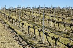 Vineyards in winter Stock Photos