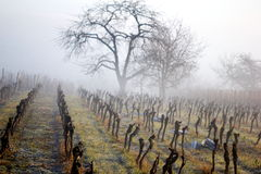 Vineyards in winter. Rows of vineyards in winter with mist and bald tree in the background royalty free stock images