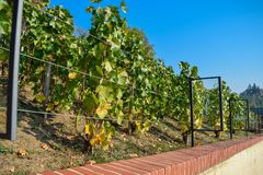 Vineyards with a wire fence in row under the sun in the morning