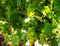 Vineyards With Grapes Stock Photography
