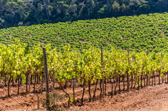 Vineyards in the woods of Porquerolles Island Royalty Free Stock Photography