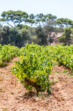 Vineyards in the woods of Porquerolles Island Royalty Free Stock Image