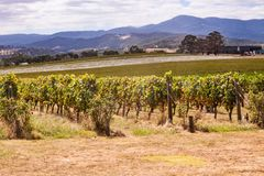 Vineyards in Yarra Valley near Melbourne, Australia. Rows of vines in a Yarra Valley vineyard, Australia stock photography