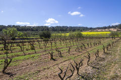 Vineyards and yellow field in ibiza, Spain Stock Image