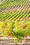Vineyars, Γαλλία Στοκ Εικόνες