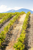 Vineyars in Languedoc-Roussillon Stock Photos
