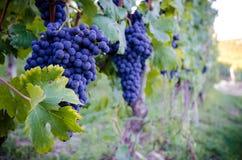 Vineyars med druvor fotografering för bildbyråer