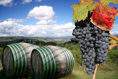 Vineyeard in Chianti, Tuscany, Italy, famous lands. Vine-yard in Chianti with blue grapes and with wine cellars, Tuscany, Italy, famous landscape stock image