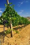 vingård 001 Royaltyfria Foton