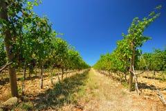 vingård 004 Arkivbild