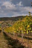 vingård Royaltyfria Foton