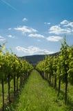 vingård 2 Arkivfoton