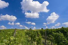 vingård Arkivbild