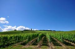 vingård Arkivbilder