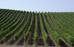 vingård Royaltyfri Foto