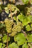 Vingård - druvor och sidor Royaltyfri Foto