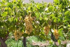 vingård för chile elquidal Royaltyfri Fotografi