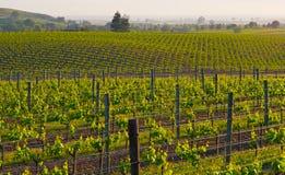 vingård för napasolnedgångdal Arkivfoto